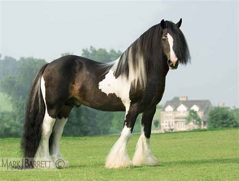 el brio vanner 2242 best images about draft horses on pinterest