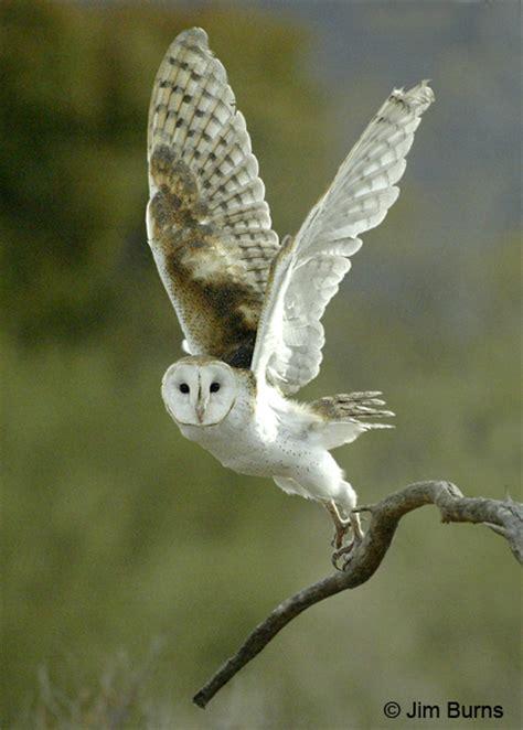 Texas Barn Owls Barn Owl