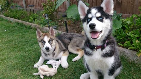 husky puppies for sale in colorado husky puppies for sale thetford norfolk pets4homes