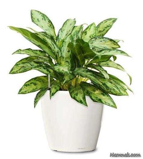 decorative plants with name in india آشنایی و پرورش گلهای آپارتمانی