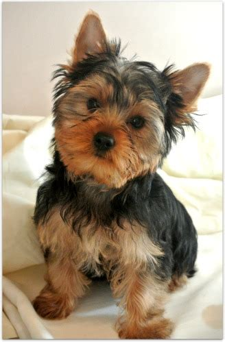 yorkie small terrier