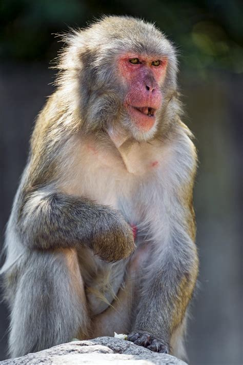 Picture 7 of 12 - Japanese Macaque (Macaca Fuscata ...