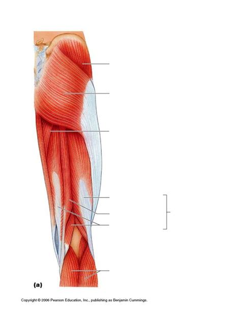 hamstring muscles diagram hamstring related keywords hamstring keywords