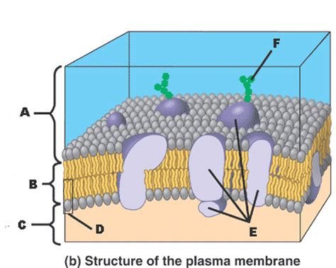 diagram of a section of a cell membrane quia ap chapter 6 cells detailed