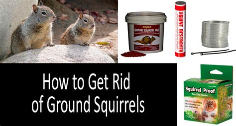 how to get rid of squirrels in the backyard how to get rid of ground squirrels top 6 best squirrel