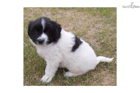 puppies for sale in sd newfoundland puppies south dakota breeds picture