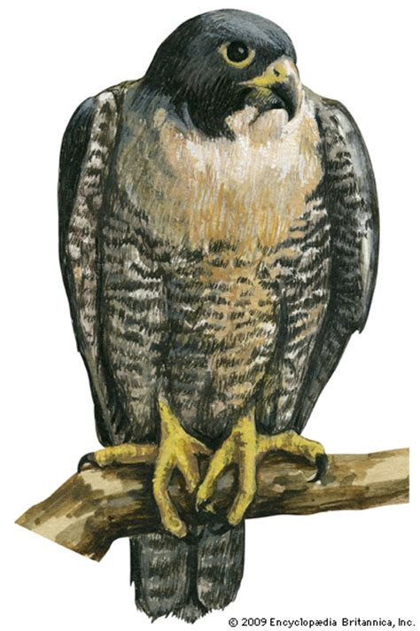 peregrine falcon encyclopedia children s