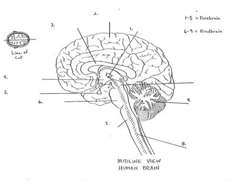 Brain Labeling Worksheet by Ap Psychology Parts Of The Brain