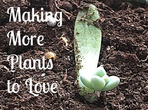 How To Propagate Succulents From Cuttings And Offsets - green obsessions 187 2015 187 january
