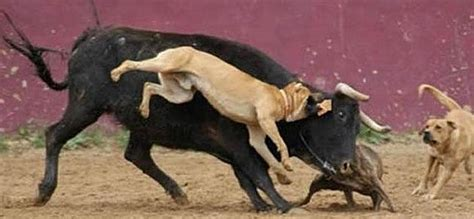 pitbull attack outrage at bullfighter s pit bull attack photos on black news