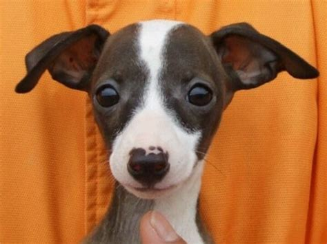 puppy in italian best 25 italian greyhound puppies ideas on greyhound puppies italian