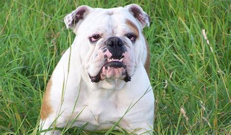 bulldog inglese alimentazione bulldog inglese carattere e prezzo idee green