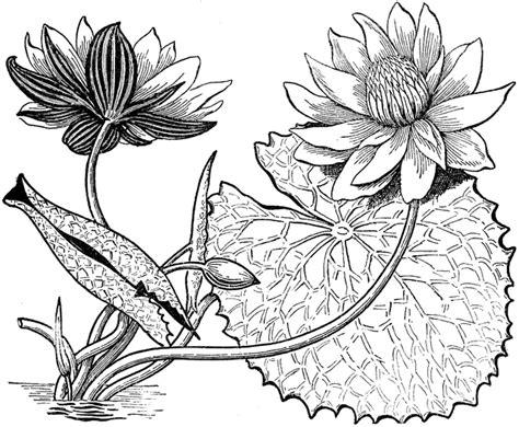 white lotus clipart