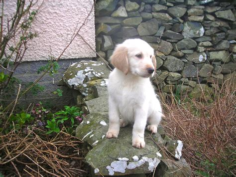 golden flat coated retriever puppies golden white flatcoated retriever pups stranraer wigtownshire pets4homes