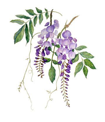 wisteria drawing google search art pinterest