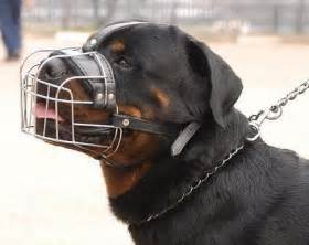 rottweiler biting how to stop wire cage muzzle to stop a rottweiler from biting chewing things up