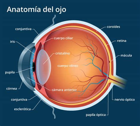 imagenes de ojos humanos y sus partes anatom 237 a del ojo humano explicaci 243 n de las partes del ojo