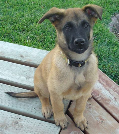 belgian shepherd puppies friendly belgian shepherd malinois puppy photo and wallpaper beautiful friendly