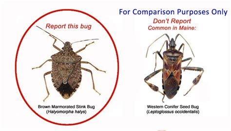 report brown marmorated stink bug sightings  maine survey