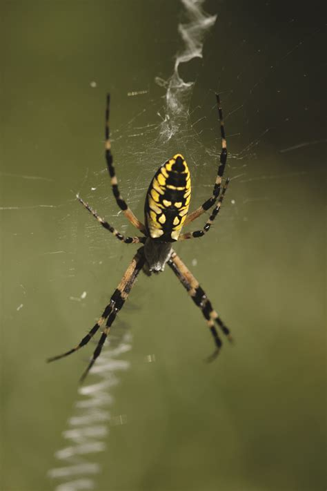 Garden Spider Poisonous by Garden Spider Facts Get Rid Of Garden Spiders
