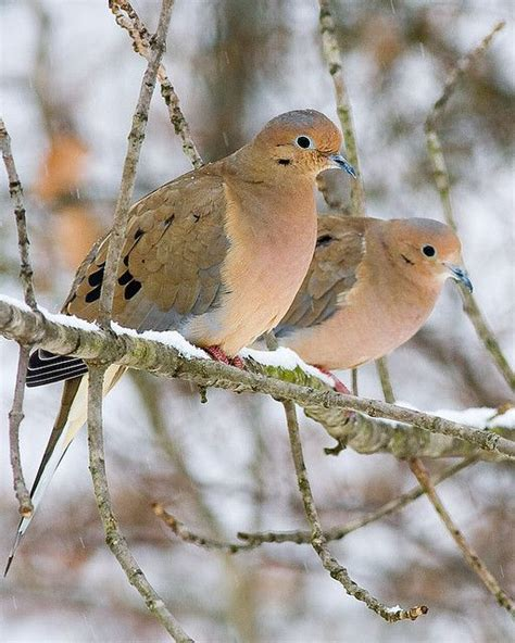 331 best images about doves on pinterest mindanao