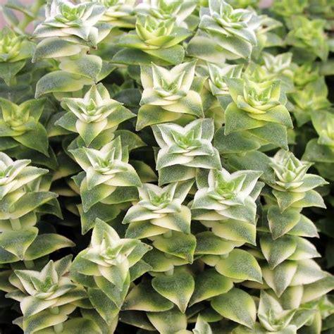 Vertical Garden Planters Diy - crassula perforata variegata string of buttons mountain crest gardens