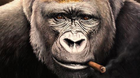 wallpaper keren 240x400 wallpaper monkeys cigar gorilla face snout glance animals
