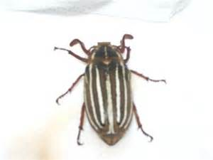 Soil For Container Vegetable Gardening - brown and white striped beetle ten lined june beetle simple gifts farm