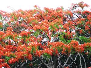 frangipini gardens poinciana flowering all town at