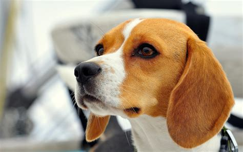 beautiful puppy dogs beautiful beagle someone saw wallpapers and images wallpapers pictures photos