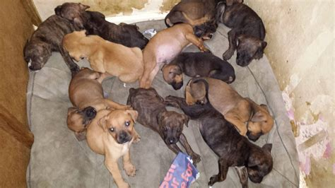 presa canario puppies for sale in presa canario puppies for sale quotes