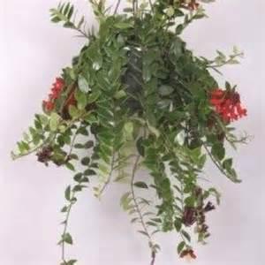 aeschynanthus pour suspension aeschynanthus plantes