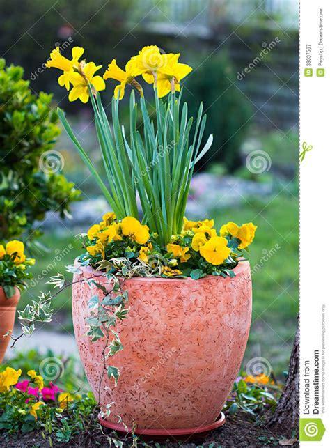 viole pensiero in vaso narcisi in vaso da fiori ed in viole pensiero gialle