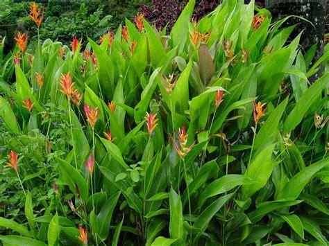 jual tanaman hias bunga heliconia psittacorum pisang