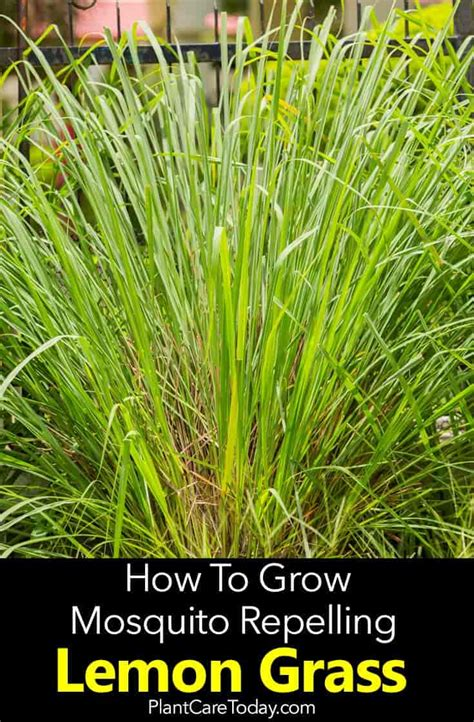 lemon grass plant care   grow lemon grass