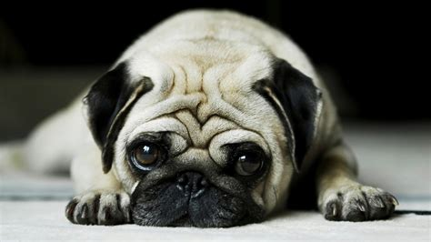 for pugs all wallpapers pug hd wallpapers