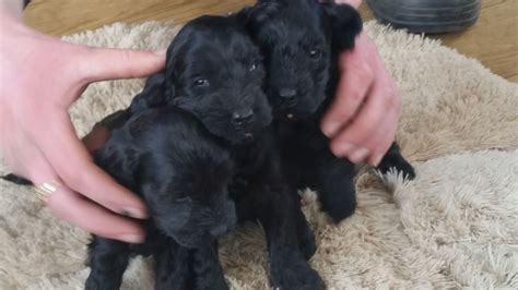 cockapoo puppies price cockapoo puppies reduced price carlisle cumbria pets4homes