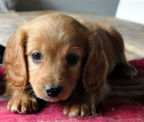 cavapoo puppies for sale florida cavapoo puppies for sale lydney gloucestershire pets4homes