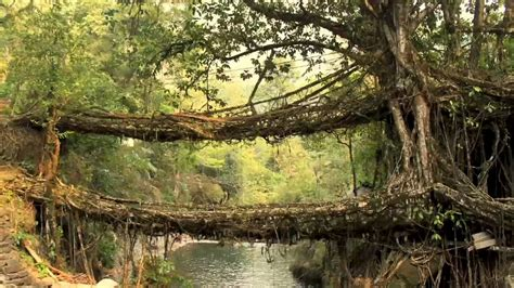 living bridges living bridges made of trees in india youtube