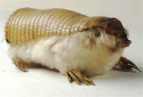 pink fairy armadillo  pink armored fairies animal pictures  facts factzoocom