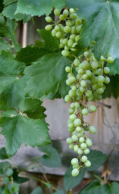 backyard grapes the witless wanderer backyard grapes
