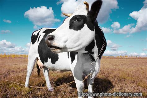 Cowhide Definition - cow photo picture definition at photo dictionary cow