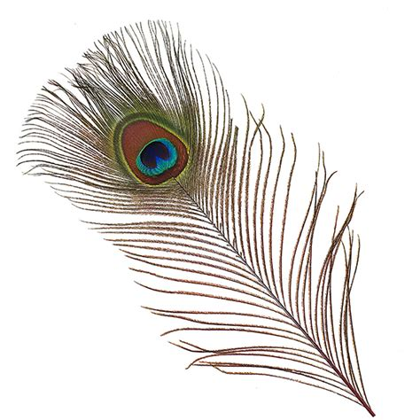 Colors That Go With Red by Peacock Tail Eyes Stem Dyed Eyes Peacock Feather Types