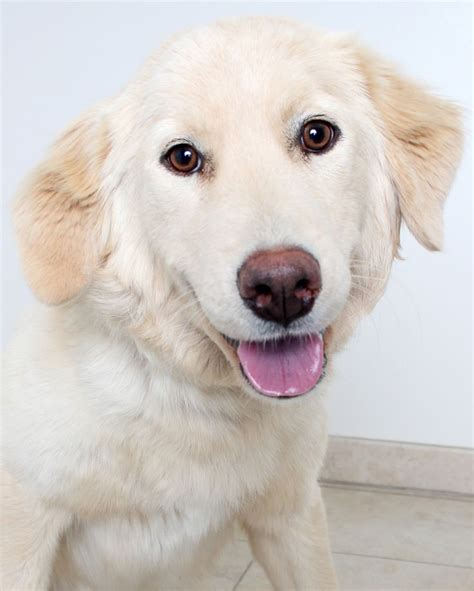 golden retriever puppies adoption mn 17 best ideas about golden retrievers for adoption on golden retriever
