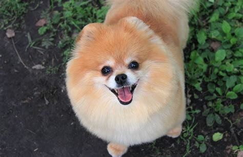 pomeranian facts 6 cool facts about pomeranians