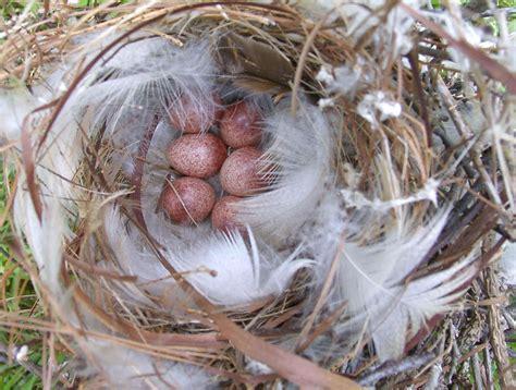 nests eggs and birds 26wreneggs jpg jpg