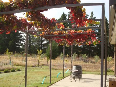 l shades with grapes the field of gold growing shade vines on the pergola