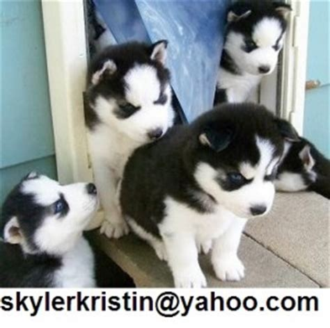 free puppies in colorado springs husky puppies colorado springs free husky puppies in nc siberian husky breeds