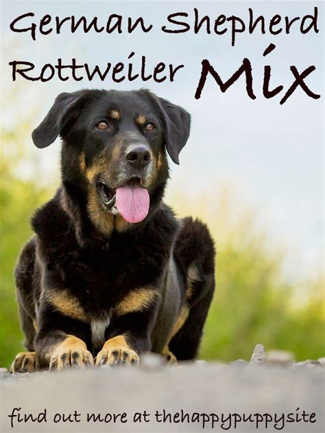 german shepherd rottweiler mix facts german shepherd rottweiler mix breed facts information rottweiler mix and german