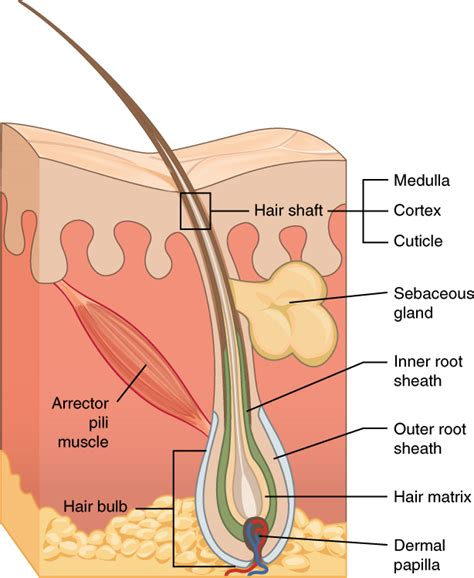 hair diagram anatomy physiology accessory structures of the skin voer